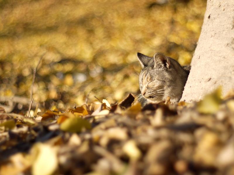 一面の落ち葉とネコ