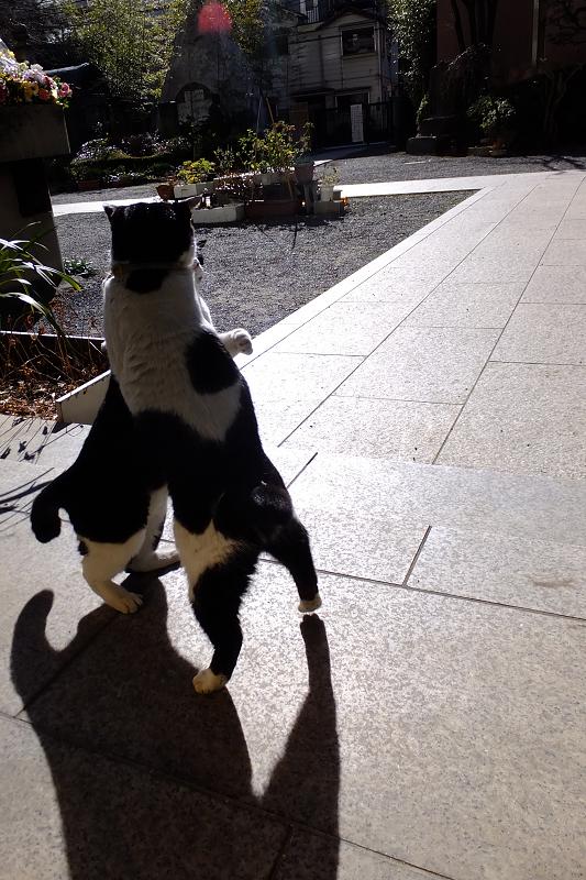 立ち上がって取っ組み合いのネコ