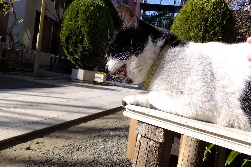 ベンチの上で鳴いてるネコ