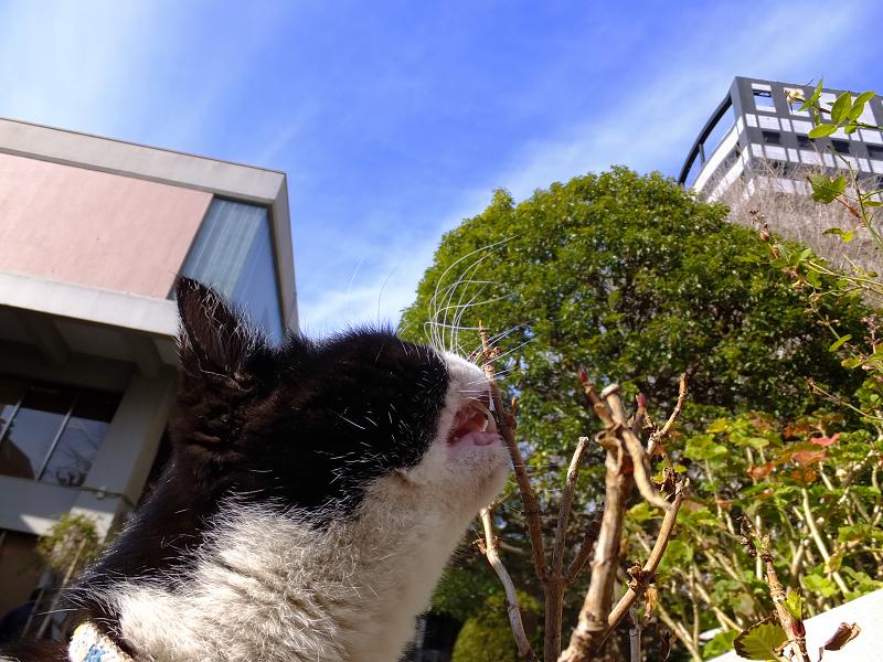 再度木の芽を喰うネコ