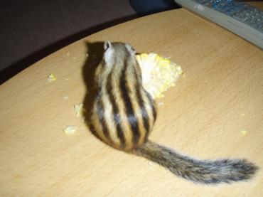 耳なしナッツ君