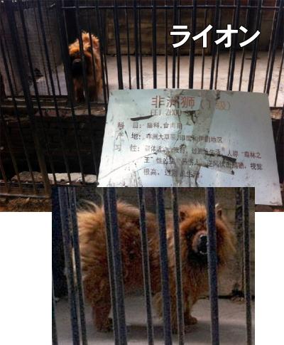 中華人民共和国河南省ラクガ市動物園のライオン