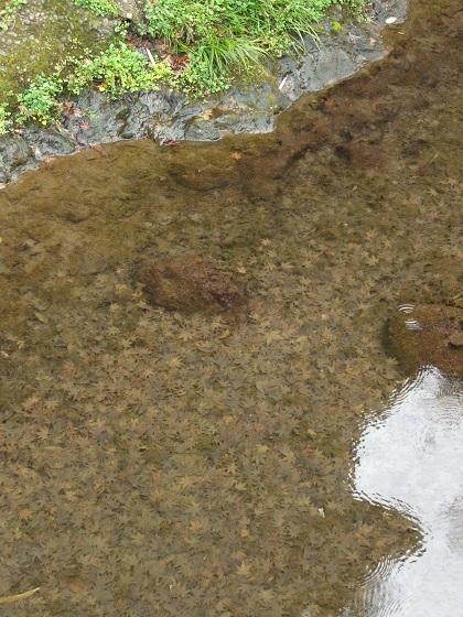 花沢の里川の落ち葉