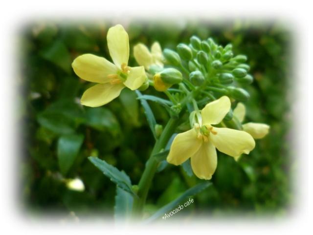ハボタンの開花