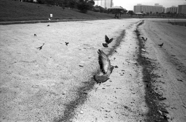 PigeonsFly04c