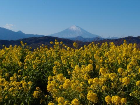 吾妻山公園 菜の花と富士