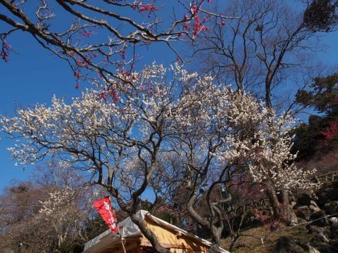 熱海梅園 梅の開花状況