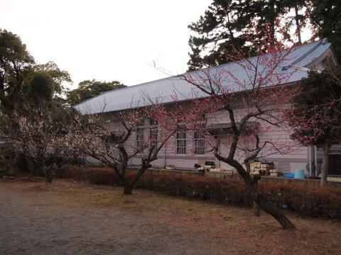 小田原城の梅