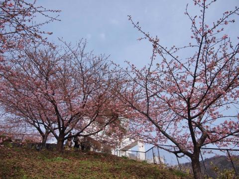 松田山ハーブガーデン 河津桜