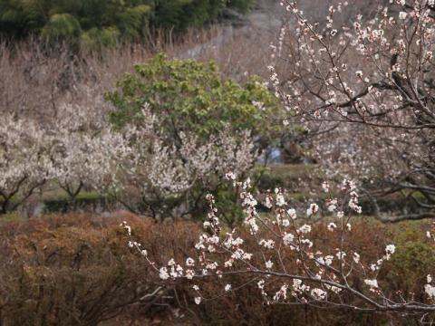 辻村自然公園の梅