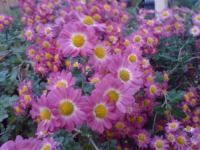 わが庭の秋 菊