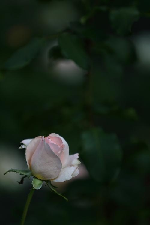 秋バラ撮影は最初で最後かな09