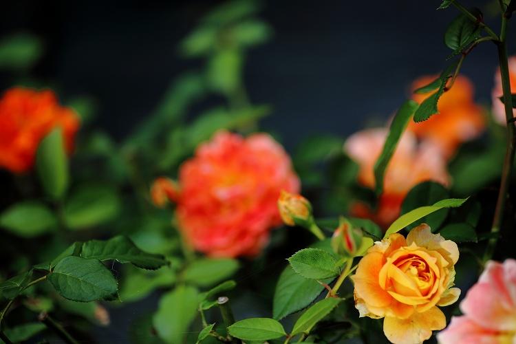 秋バラ撮影は最初で最後かな01