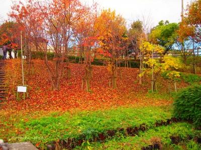 公園の紅葉3