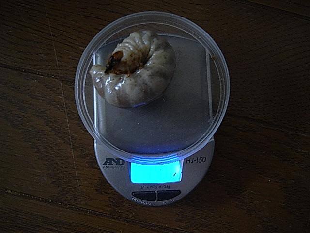 韮崎タマゴ採集個体2