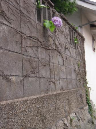 ひょっこり紫陽花