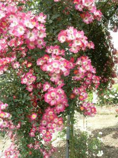 広島バラ園バラ 安曇野 ウィーピング
