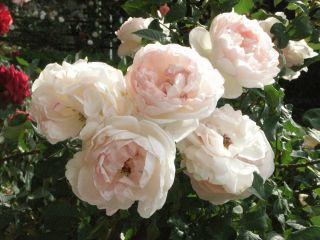 広島バラ園バラ