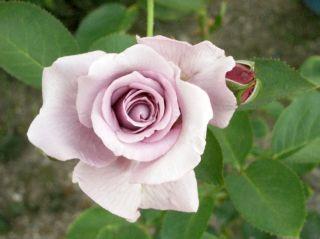 広島バラ園バラ ブルームーン