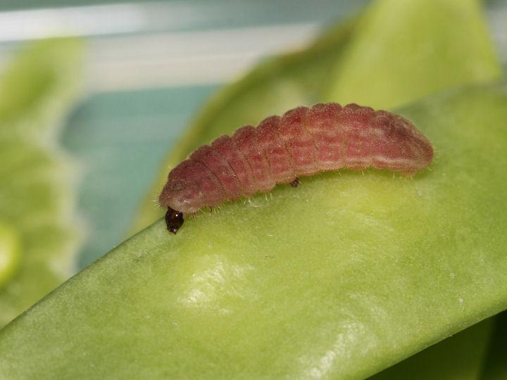 ウラナミシジミ終齢幼虫@15mm-IMG_7329