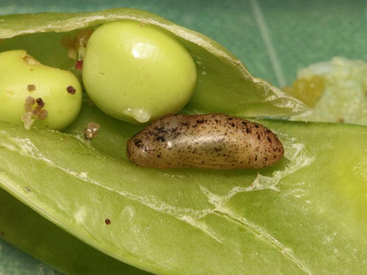 ウラナミシジミ蛹-IMG_7317