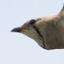 64-ツバメチドリ