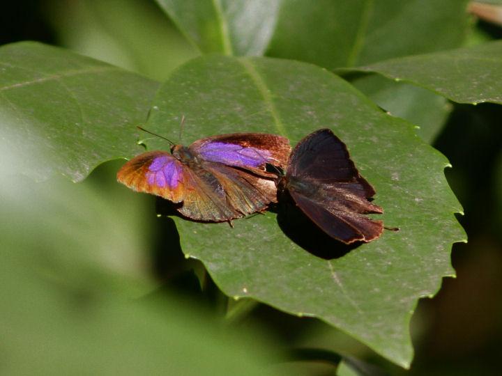 ムラサキツバメ♂♀-7D2_1268