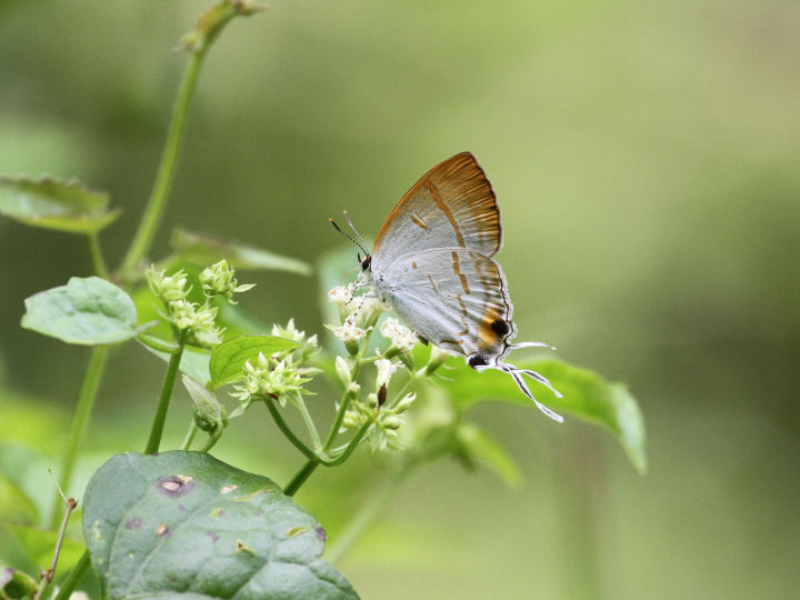 Hypolycaena thecloides_7D2_6232
