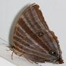 96-Amathusia phidippus_7D2_5465
