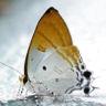 96-Hypolycaena amasa_7D2_5595