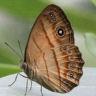 96-Mycalesis anapita_7D2_6085