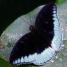 96-Tanaecia godartii_7D2_6416