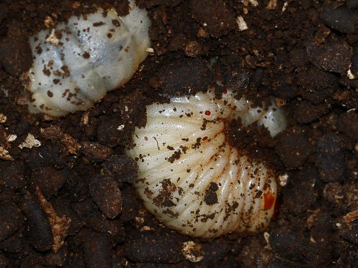 カブトムシ幼虫-IMG_8012