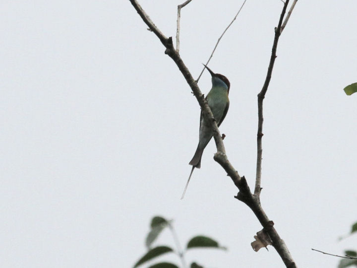 BLUE-TAILED BEE-EATER_7D2_7281