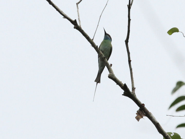 BLUE-TAILED BEE-EATER_7D2_7290