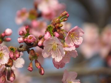 シュゼンジカンザクラが咲いた
