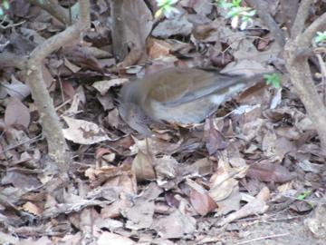 落ち葉をひっくり返し餌を探すシロハラ