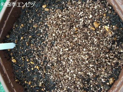 20100605 シソ 種蒔き