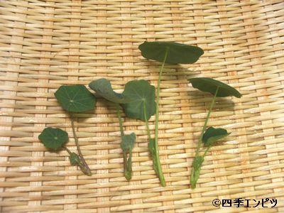 20100619 ナスタチウム 収穫