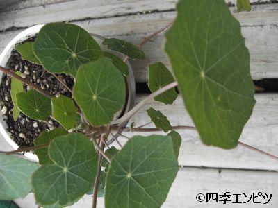 20100619 ナスタチウム 小さい鉢
