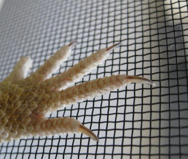 フトアゴの爪
