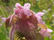 ヒメオドリコソウの花 クローズアップ