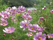 コスモスは、か弱く見えるが実は強い花