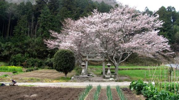 山村の小さな神社の桜