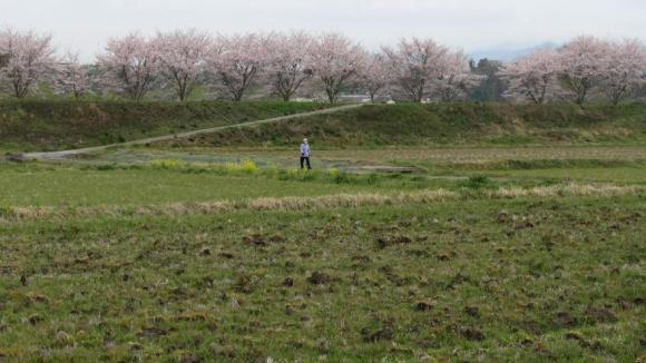 田んぼと桜並木