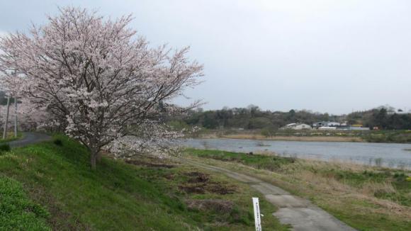 河川敷の土手の桜