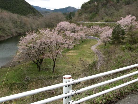 久賀ダムのダムサイトの桜