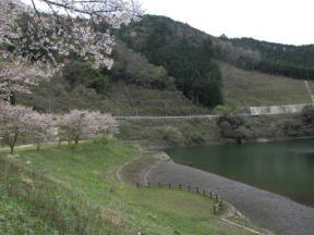 ダムサイトと桜