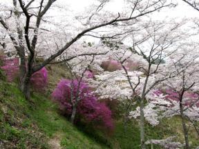 斜面に咲き誇る桜とツツジ 1