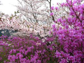 斜面に咲き誇る桜とツツジ 2